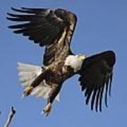 Bald Eagle Ascent 4 Art Print