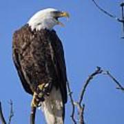 Bald Eagle Calling Art Print