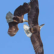 Bald Eagle Chase Over Pohick Bay Drb148 Art Print