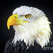 Bald Eagle Hailaeetus Leucocephalus Wildlife Rescue Art Print