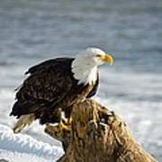 Bald Eagle Homer Spit Alaska Art Print
