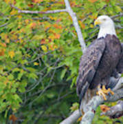 Bald Eagle In Fall Colors Animals Art Print