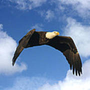 Bald Eagle In Flight Art Print