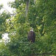 Bald Eagle In Sweetgum Tree Art Print