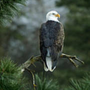 Bald Eagle In Tree Art Print