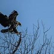 Bald Eagle Juvenile Landing In Tree Top Art Print