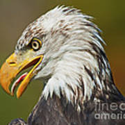 Bald Eagle... Art Print