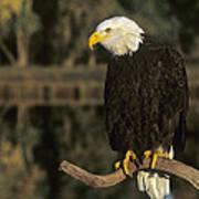 Bald Eagle On Dead Snag Wildlife Rescue Art Print