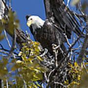 Bald Eagle On Nest Near The Oxbow Art Print