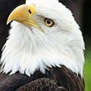 Bald Eagle - Power And Poise 01 Art Print