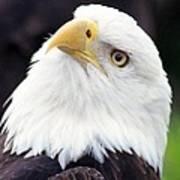 Bald Eagle - Power And Poise 03 Art Print