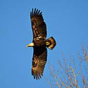 Bald Eagle Soaring Over Trees Art Print