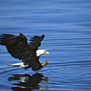 Bald Eagle Striking Kenai Peninsula Art Print