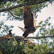 Bald Eagle With Eaglet Art Print