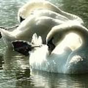 Ballet Of Swans  Art Print