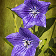 Balloon Flower Art Print by Marcia Colelli