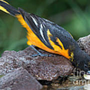 Baltimore Oriole Drinking Art Print