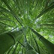 Bamboo Forest 2 Art Print