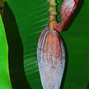 Banana Tree Bud Art Print