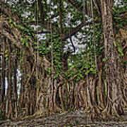 Banyan Tree At Folly Art Print