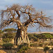 Baobab Tree Ruaha Np Tanzania Art Print
