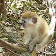 Barbados Green Monkey Art Print