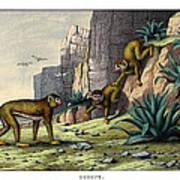 Barbary Ape Art Print