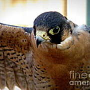 Barbary Falcon Wings Stretched Art Print