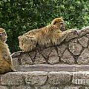 Barbary Macaques Art Print
