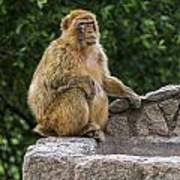 Barbary Macaque Art Print