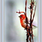 Barbed Wire And Finch Art Print