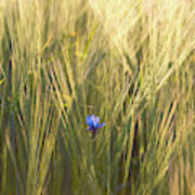 Barley And Corn Flowers In The Field Art Print
