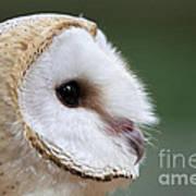Barn Owl Closeup Portrait Art Print