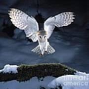 Barn Owl Landing Art Print