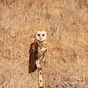 Barn Owl Perching Art Print