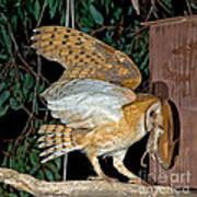 Barn Owl With Prey Art Print