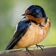 Barn Swallow Print by Ernie Echols