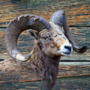 Barn Wood Bighorn Art Print