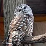 Barred Owl 264 Art Print