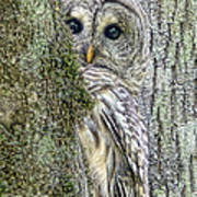 Barred Owl Peek A Boo Art Print
