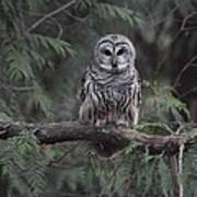 Barred Owl Stare Down Art Print