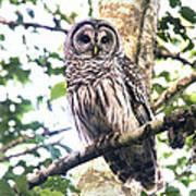 Barred Owl Staring Art Print