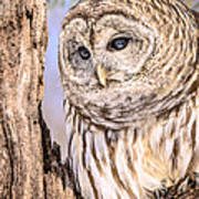 Barred Owl Watch Art Print