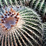 Barrel Cacti Art Print