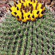 Barrel Cactus With Yellow Fruit Art Print