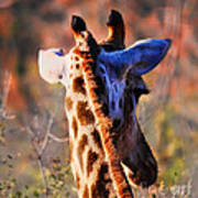 Bashful Giraffe  Art Print by Alexandra Jordankova