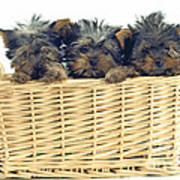 Basket Of Yorkies Art Print