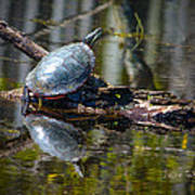 Basking Turtle Art Print