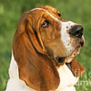 Basset Hound Dog Art Print