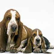 Basset Hound Dogs Art Print